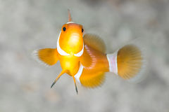Clown Anemone Fish Stock Photo