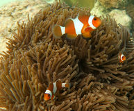 Clown Anemone Fish och hav Anenome Royaltyfri Foto