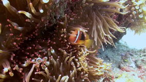 Clown anemone fish in the sea on slopes of reef. stock video footage