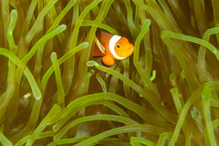 Clown Anemone Fish Royalty Free Stock Photo