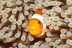 Clown Anemonefish Royaltyfria Bilder
