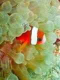 Clown anemonefish Stock Photos