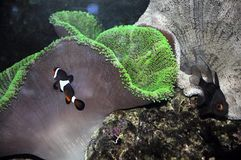 A clown anemonefish Stock Image