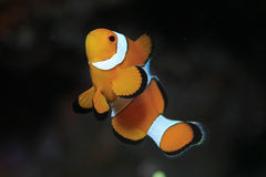 Clown anemonefish Stock Images