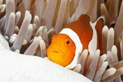 Clown Anemonefish Arkivbilder