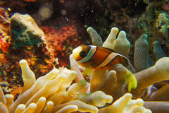 Clown Anemonefish stockbild