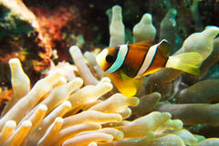 Clown Anemonefish lizenzfreies stockfoto
