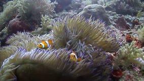 Clown Anemonefish stock videobeelden