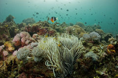Clown anemonefish Amphiprion ocellaris. Under water Stock Photo