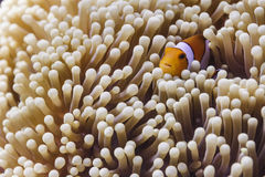 Clown anemonefish (Amphiprion-ocellaris) in Andaman-Overzees Royalty-vrije Stock Afbeeldingen
