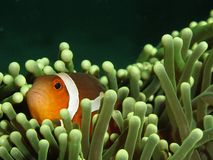 Clown anemonefish. (Amphiprion ocellaris) in green host anemone photographed on Pulau Weh, Sumatra, Indonesia stock photos