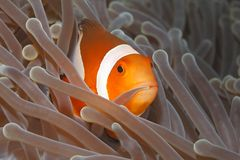 Clown Anemonefish, Amphiprion Percula Images libres de droits