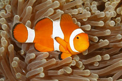Clown Anemonefish, Amphiprion Percula Lizenzfreie Stockbilder