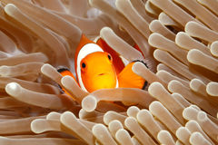 Clown Anemonefish, Amphiprion Percula Royalty-vrije Stock Afbeeldingen