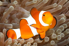 Clown Anemonefish, Amphiprion Percula Stock Afbeelding