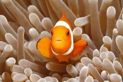 Clown Anemonefish, Amphiprion Percula royalty-vrije stock fotografie
