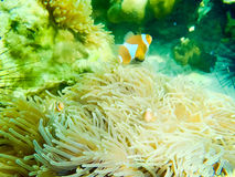 Clown Anemonefish, Amphiprion percula, swimming among the tentacles of its anemone home. Royalty Free Stock Photography