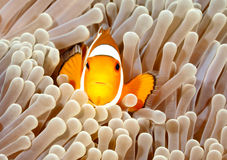 Clown Anemonefish. Amphiprion percula, swimming among the tentacles of its anemone home. Tulamben, Bali, Indonesia stock photo