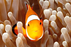 Clown Anemonefish. Amphiprion percula, swimming among the tentacles of its anemone home. Tulamben, Bali, Indonesia royalty free stock photography