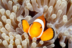 Clown Anemonefish Royalty Free Stock Image