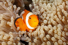 Clown Anemonefish, Amphiprion percula Royalty Free Stock Photography