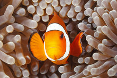 Clown Anemonefish, Amphiprion percula Royalty Free Stock Photos