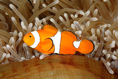 Clown Anemonefish. Amphiprion percula, swimming among the tentacles of its anemone home. Uepi, Solomon Islands royalty free stock photography