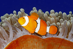 Clown Anemonefish Stock Photography