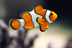 Clown fish or Clown anemonefish - Amphiprion percu. A popular orange and white aquarium fish known as Clown Anemonefish (aka. Clownfish) swim in a tank Royalty Free Stock Photo