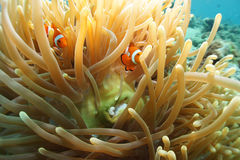 Clown Anemonefish. Clown anemone fish and Seaanemone Royalty Free Stock Photos