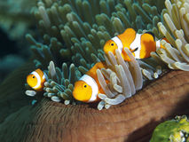Clown anemonefish Royalty Free Stock Photography