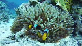 Clown Anemonefish, Colorful Tropical Fish on Vibrant Coral Reefs Underwater in the Red Sea. Egypt. Clown Anemonefish, Beautiful Colorful Tropical Fish on Vibrant stock footage
