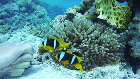 Clown Anemonefish, Colorful Tropical Fish on Vibrant Coral Reefs Underwater in the Red Sea. Egypt. Clown Anemonefish, Beautiful Colorful Tropical Fish on Vibrant stock video footage
