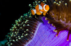 Clown anemonefish, das in einer purpurroten Anemone sich versteckt Lizenzfreies Stockfoto