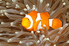 Clown Anemonefish in der Seeanemone Lizenzfreies Stockfoto