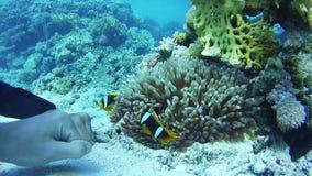 Clown Anemonefish, färgrik tropisk fisk på vibrerande Coral Reefs Underwater i Röda havet egypt lager videofilmer