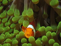Clown anemonefish. False clown anemonefish (Amphiprion ocellaris) in green anemone photographed in the Komodo National Park in Indonesia. Anemonefish have a stock photo
