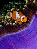 Clown anemonefish hiding in an anemone. Clown anemonefish (Amphiprion percula) in a purple anemone. Taken in the Wakatobi, Indonesia Royalty Free Stock Photos