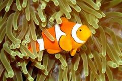 Clown Anemonefish i havsanemon Royaltyfri Foto