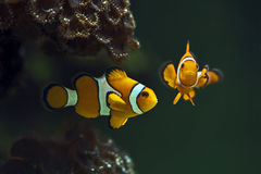 Clown anemonefish,  Orange clownfish - Amphiprion percula Stock Photography