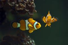 Clown anemonefish, Orange clownfish - Amphiprion percula. Anemone stock photography