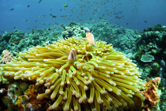 Clown Anemonefish. And Sea Anemone Stock Images