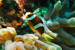 Clown Anemonefish. And Sea Anemone Royalty Free Stock Photos