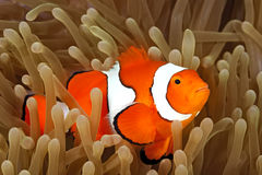 Clown Anemonefish in Sea Anemone Royalty Free Stock Photos