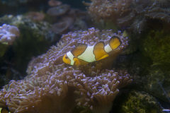 A Clown Anemonefish sheltering and sea anemone Royalty Free Stock Images