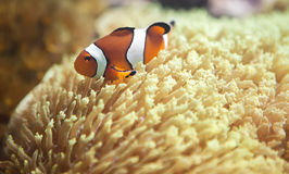 A clown anemonefish swimming in its anemone Stock Photos
