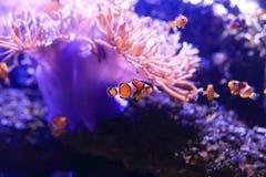 Clown Anemonefish Stock Image