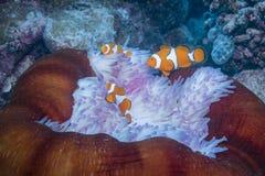 Clown Anemonefish. Three Clown Anemonefishes with Anemone Stock Photos