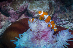 Clown Anemonefish. Three Clown Anemonefishes with Anemone in the Great Barrier Reef Stock Images