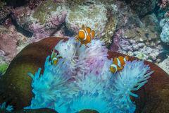 Clown Anemonefish. Three Clown Anemonefishes with Anemone in the Great Barrier Reef Royalty Free Stock Image